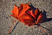 Maple leaves (Acer sp.)