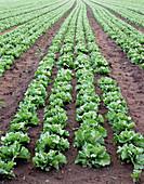 Lettuce planted in rows Bjorn Svensson 20