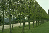 Pleached Limes