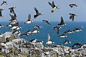 Atlantic puffins in flight