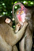 Southern pig-tailed macaques