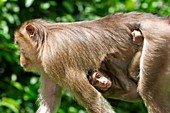 Southern pig-tailed macaque and young
