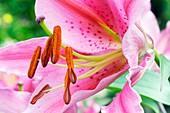 Lily (Lilium 'Acapulco')