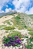 Grassy bells (Edraianthus graminifolius)