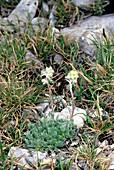 Artemisia petrosa