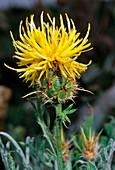 Cornflower (Centaurea rupestris)