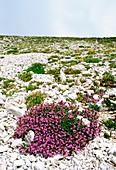 Alpine rock thyme (Acinos alpinus)