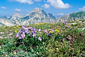 Alpine flax (Linum alpinum)