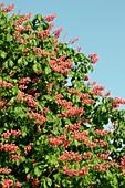 Red horse-chestnut (Aesculus x carnea)
