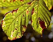 Damaged horse chestnut leaves