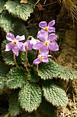 Pyrenean violet (Ramonda myconi )