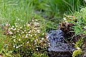 Starry saxifrage (Saxifraga stellaris)