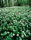 Wild garlic (Allium ursinum) in a wood