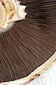 Portobello (Agaricus bisporus)