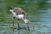 Black-winged stilt chick