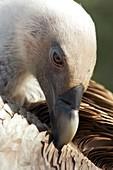 Griffon vulture preening