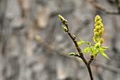 Pine tree flower stalk covered in pollen