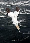 Gannet diving into water