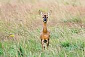Roe deer doe (Capreolus capreolus)
