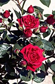 Miniature rose 'Baby Baccara'