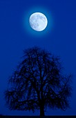 Moon above a bare tree