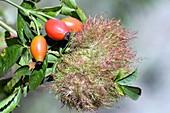 Robin's pincushion galls