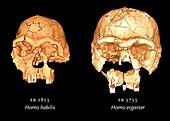 Hominid skulls,3D computer images