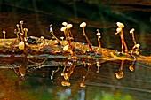 Cudoniella fungus