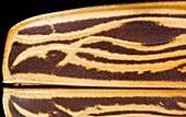 Longhorn beetle cuticle detail
