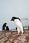 Adelie penguin colony