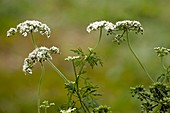 Fool's parsley (Aethusa cynapium)