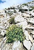 Saxifrage (Saxifraga caesia)
