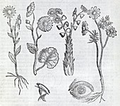 Ocular plants,16th century artwork