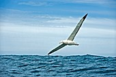 Gibson's wandering albatross in flight