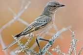 Chat flycatcher on a branch