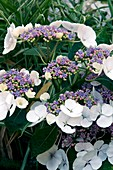 Hydrangea macrophylla 'Teller Blanc'