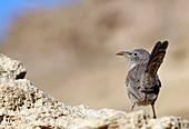 Arabian babbler on a rock