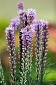 Gay Feathers (Liatris 'Floristan Violet')