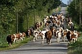 Dairy herd in rural France