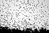 European starling flock roosting