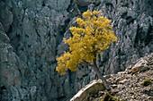 Cretan Maple (Acer sempervirens)