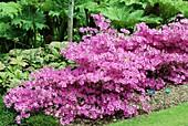 Rhododendron 'Margot'