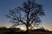 Oak tree at sunrise