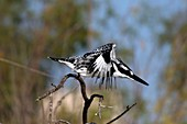 Pied kingfisher launching from a branch