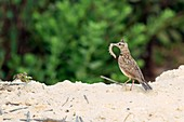 Crested lark with a caterpillar