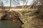 Uprooted Alder trees (Alnus glutinosa)
