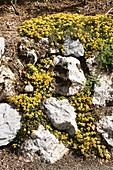 Rock Stonecrop (Sedum rupestre)