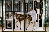 Historical animal anatomy models
