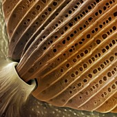 Butterfly wing scale detail,SEM