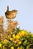 A singing Wren